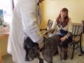 Dr. Corradini checks on a large Great Dane