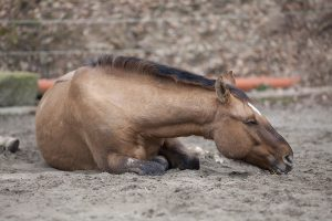 A tan sick mare lays down in the dirt.
