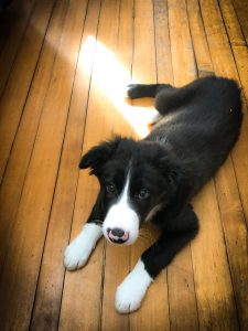 Hughie - A large Border Collie puppy lays down on a hardwood floor.