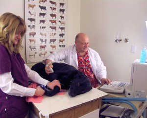 Dr. Corradini giving a large black lab an ultrasound with the help of a staff member