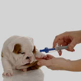 A small English Bulldog puppy gets a vaccine