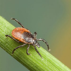 A black tick with a brown body.
